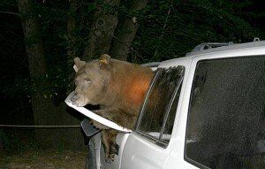 Bear in car Whistler