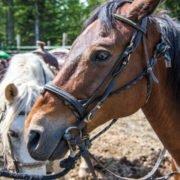 Whistler Horses